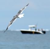 Boat & Gull