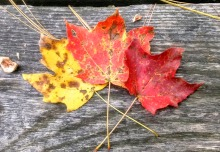 Pretty fall leaves
